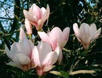 Growing Magnificent Magnolias 1.2