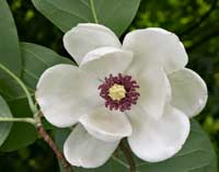Growing Magnificent Magnolias 1.3